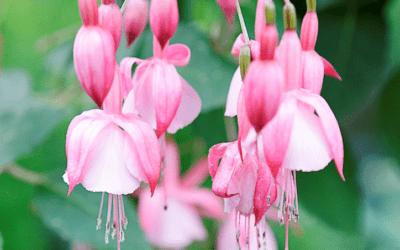 Fuchsia Perfect