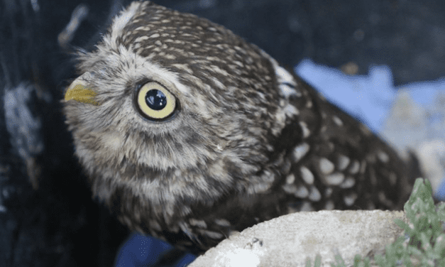 Injured Owl Treated at Butterfly House